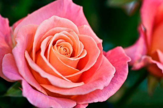 розы на даче