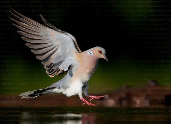 птица горлица