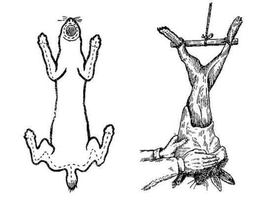 снятие шкуры кролика