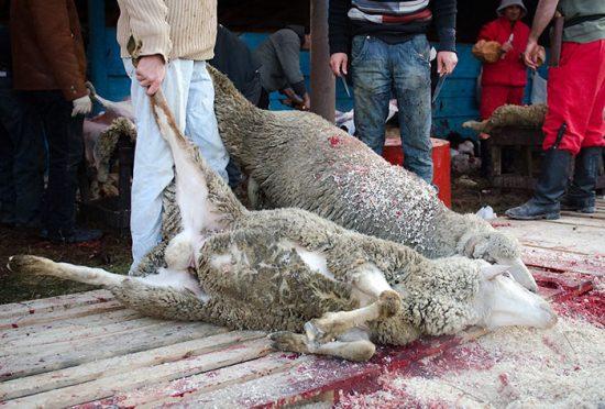 туша овцы