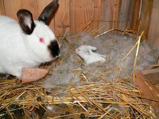 крольчиха с крольчонком