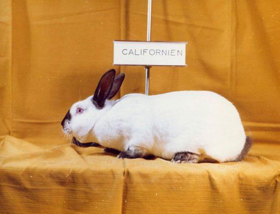 породистые кролики