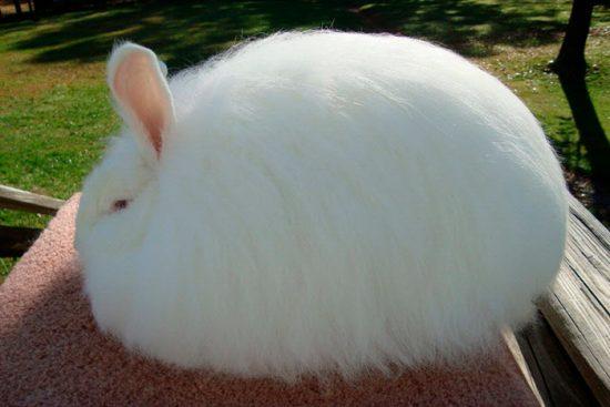 очень пушистый кролик