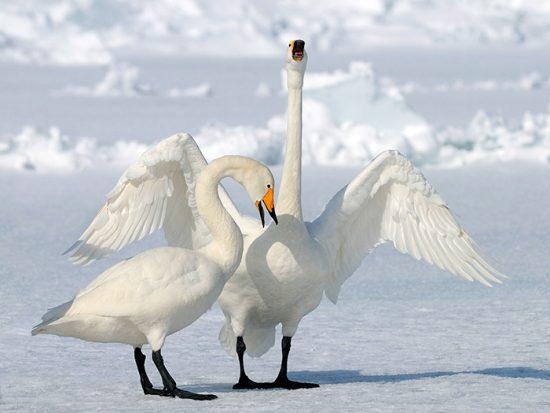 породы лебедей