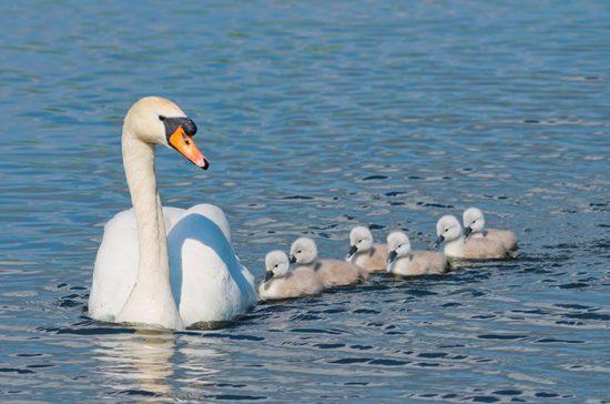 лебедь с птенцами