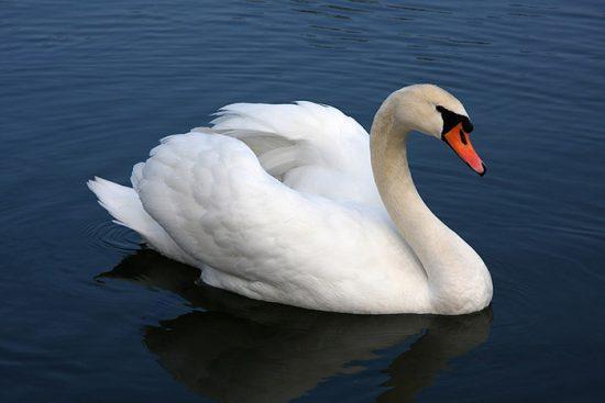 водоплавающая птица