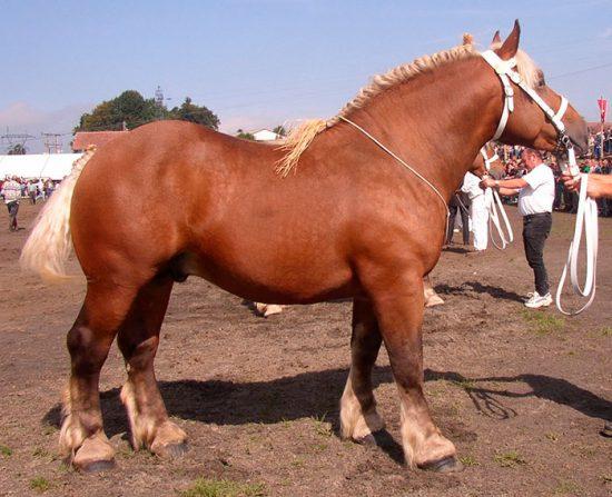 породистый конь