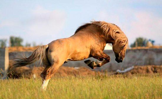 каурый конь