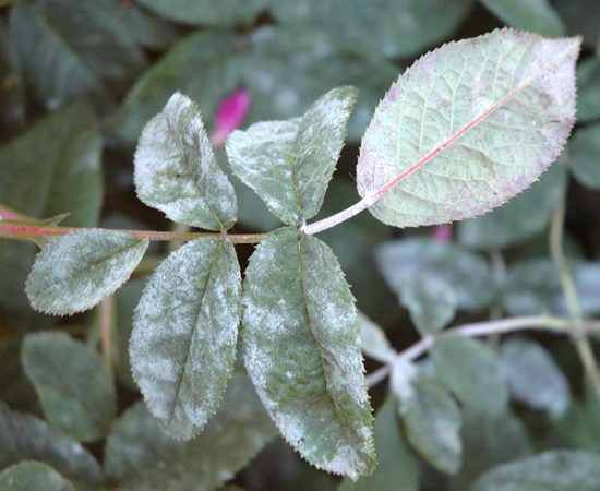 обработка розы от болезней