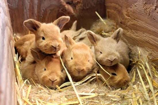породистые крольчата