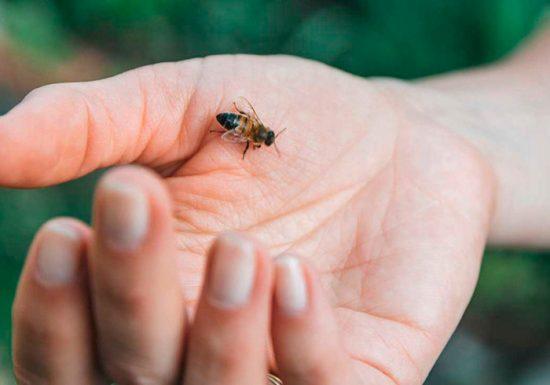 как используют яд пчелы