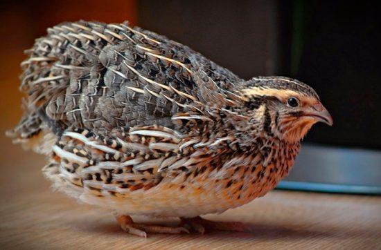 содержание домашней птицы