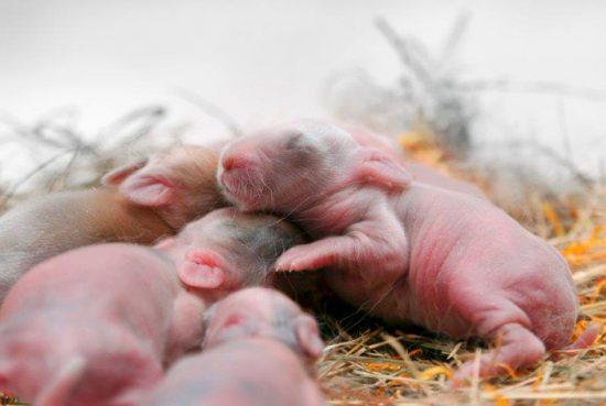 новорожденные кролики