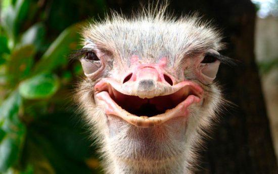 как выглядит страус