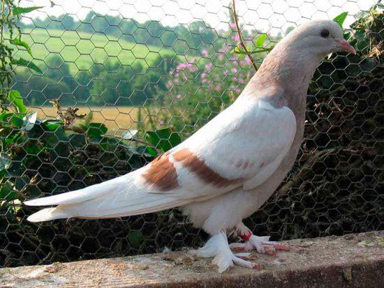 разведение птиц