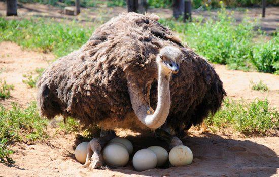 страус на яйцах
