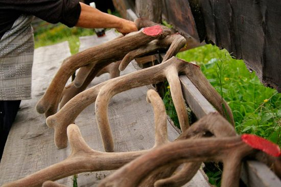 заготовка рогов оленя
