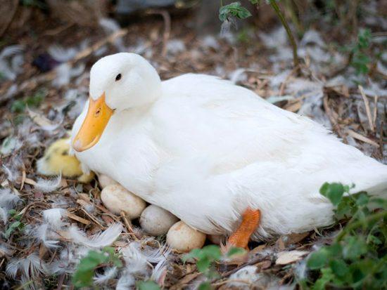 утка высиживает яйца