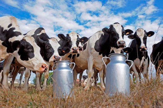 надой от коров