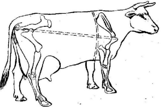 как замерять корову