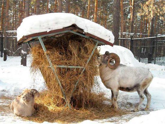 питание барана зимой