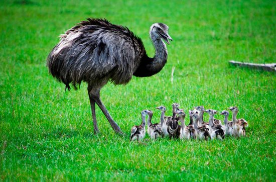 страус с птенцами
