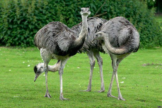 страусы на лугу