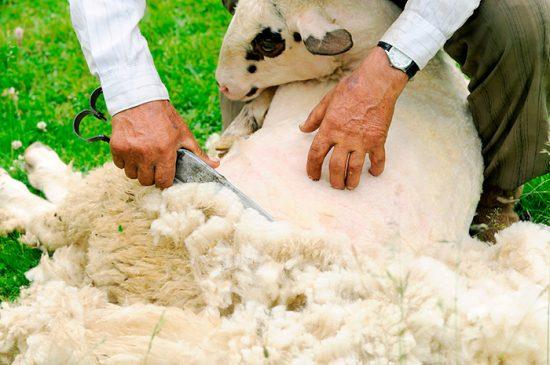 шерсть овечки