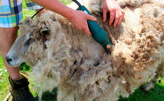 стрижка овцы машинкой