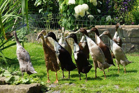 необычные утки
