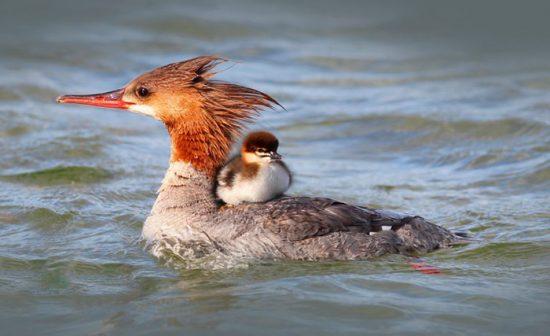 утка-баклан с птенцом