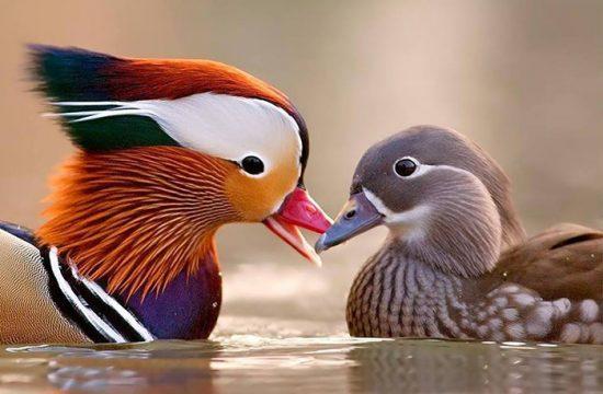 как выглядит утка мандаринка