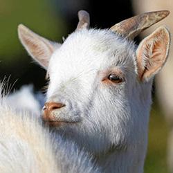 Как доить козу советы животноводу