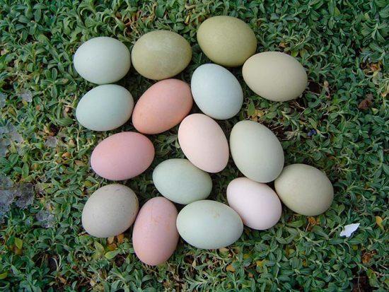 курица несет разноцветные яйца