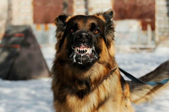 собака, зараженная бешенством