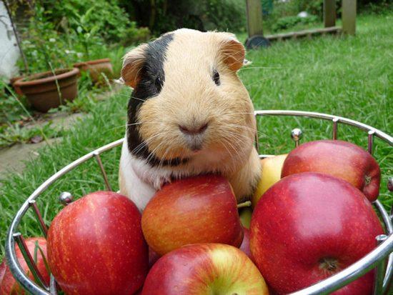 фрукты для грызуна