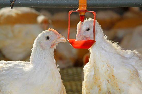 пробиотики для птиц