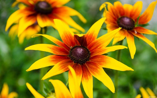 сорта цветов