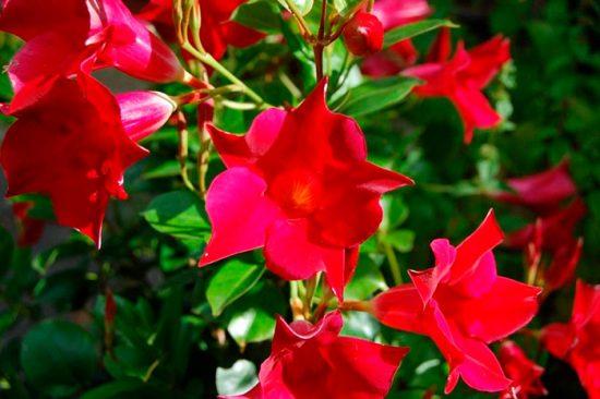 цветущие домашние культуры
