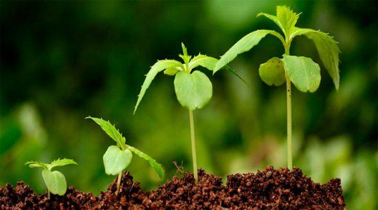 ростки овощных культур