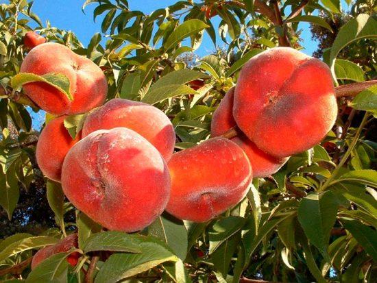 плоские персики