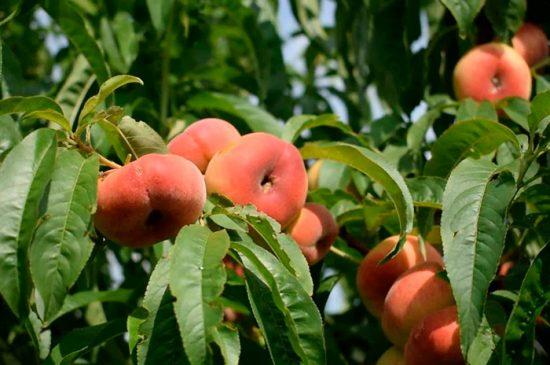 как выращивать персики