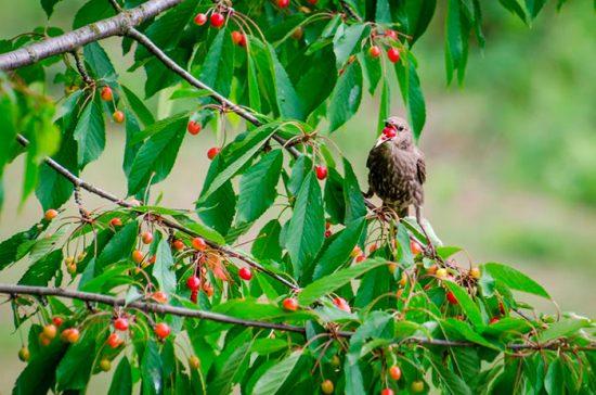 птица на вишневом дереве