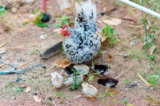 цыплята с курицей