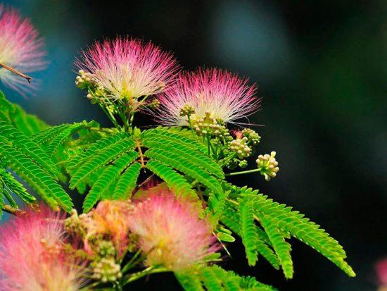 южное цветущее дерево