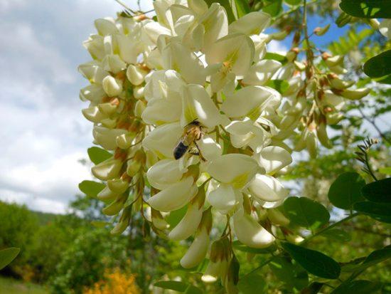 цветение акации
