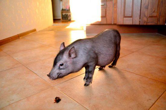 породы маленьких свиней