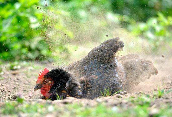 курица купается в грязи