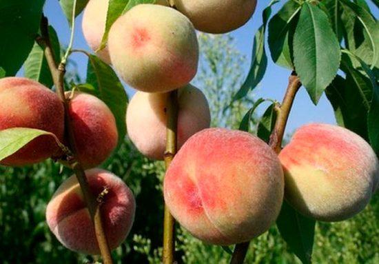 плоды персика на ветках