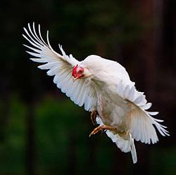 Почему курицы не летают